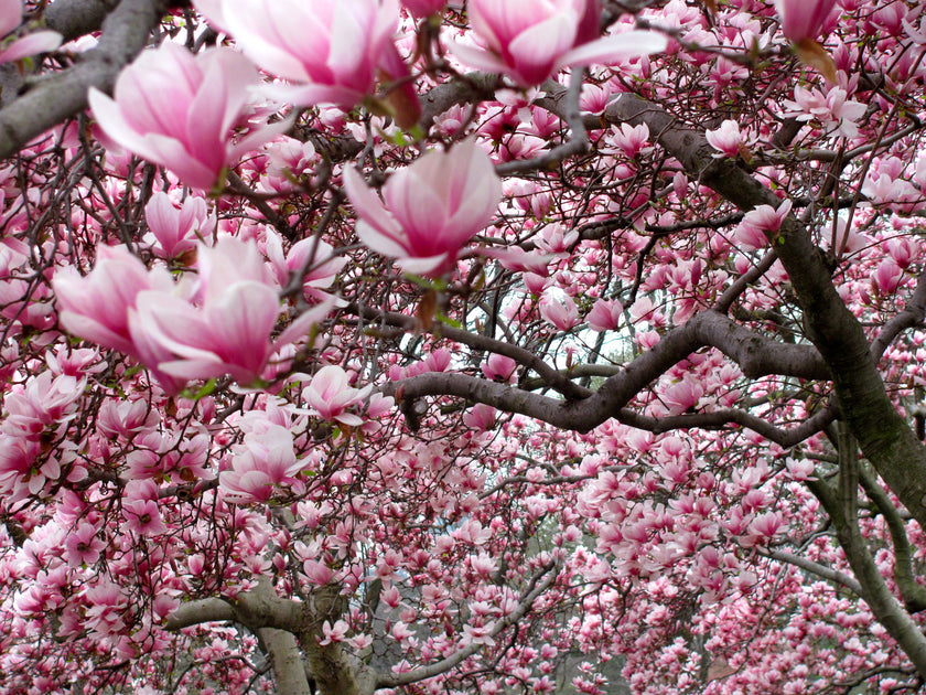 The Beautiful Magnolia Tree The Living Urn