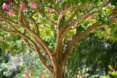 The Crape Myrtle: A Beautiful Small Memorial Tree!