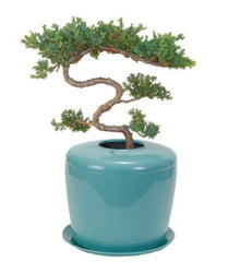 juniper bonsai urn