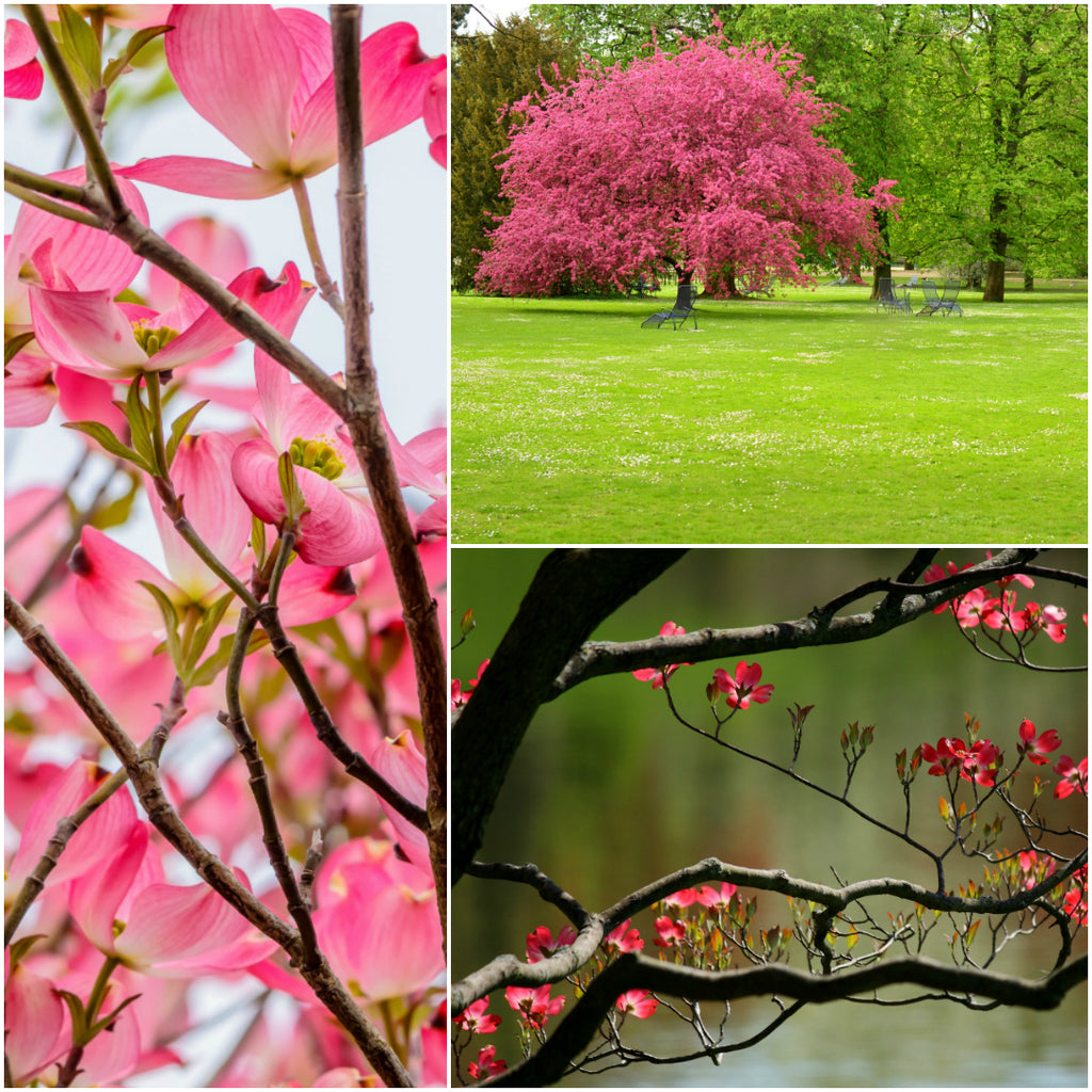 Pink Dogwood One Of Our Most Popular Trees And A Stunning Beauty