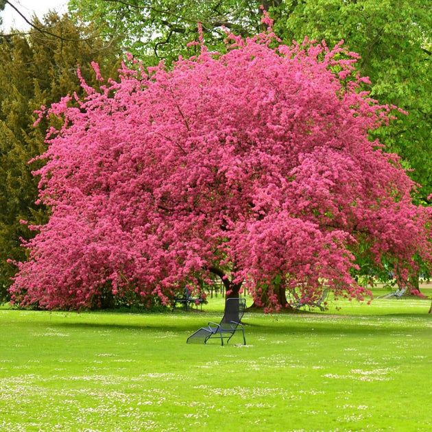 Picture of pink dogwood tree