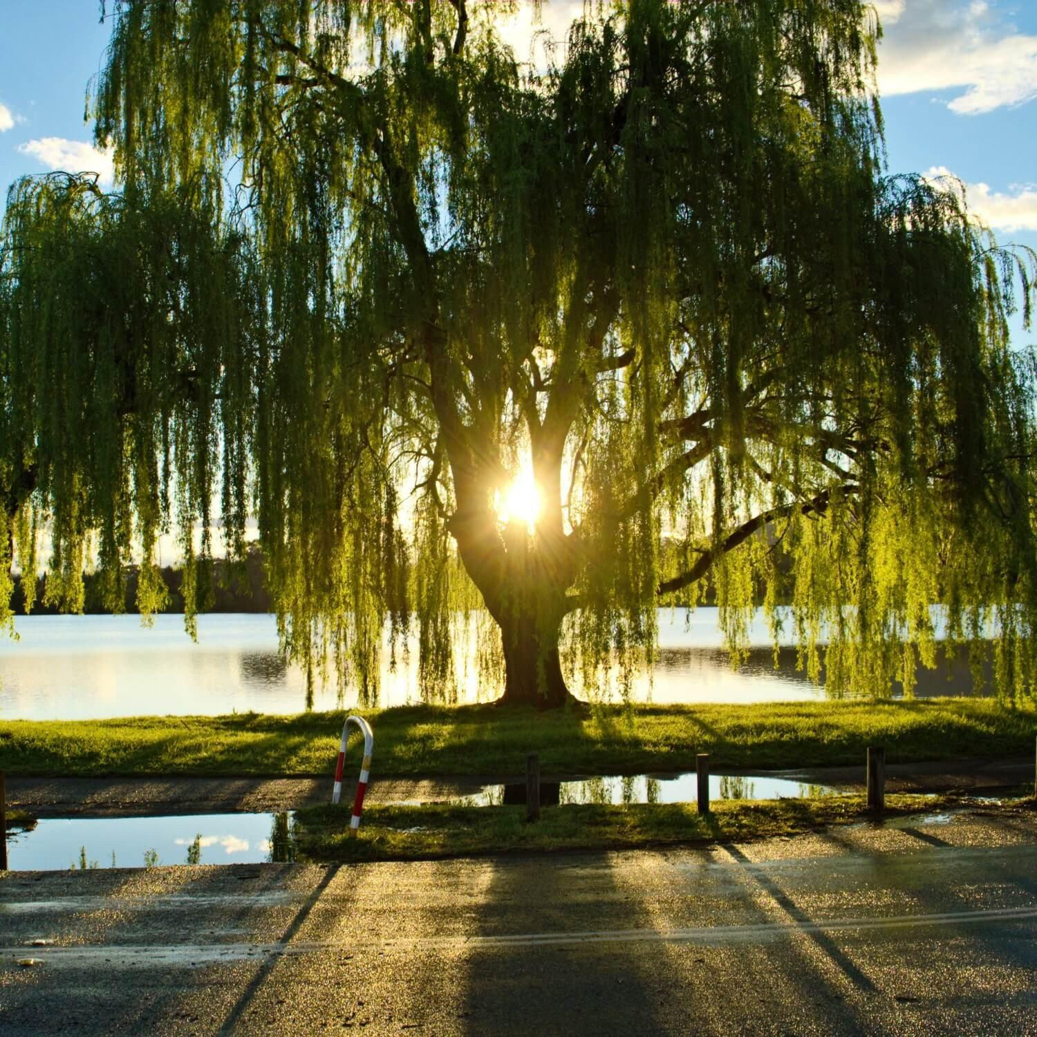 Weeping Willow - The Living Urn