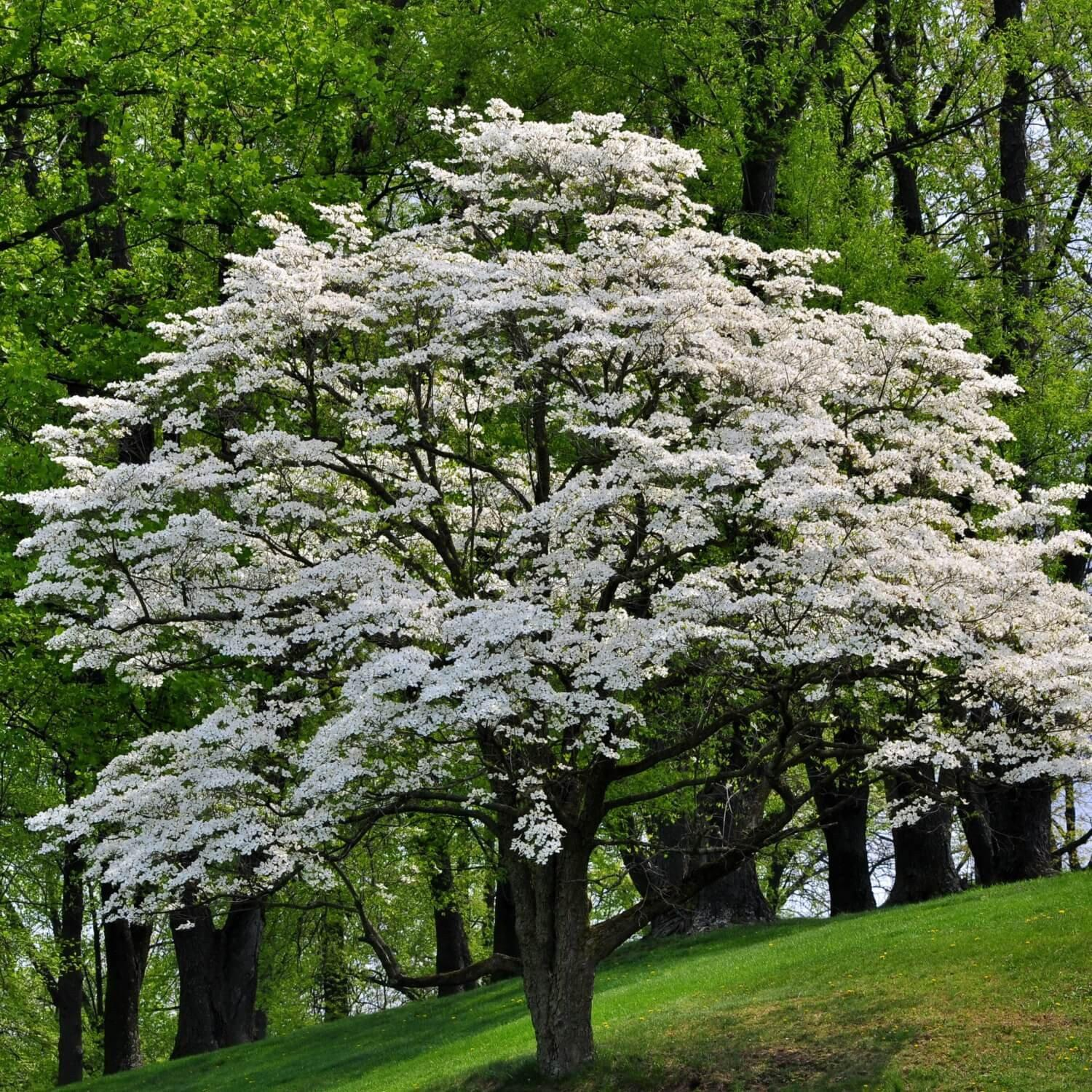 Dogwood tree from ashes biodegradable tree urn the living urn the living urn system with white dogwood seedling mightylinksfo