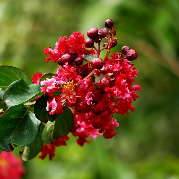 Crape Myrtle (Red)