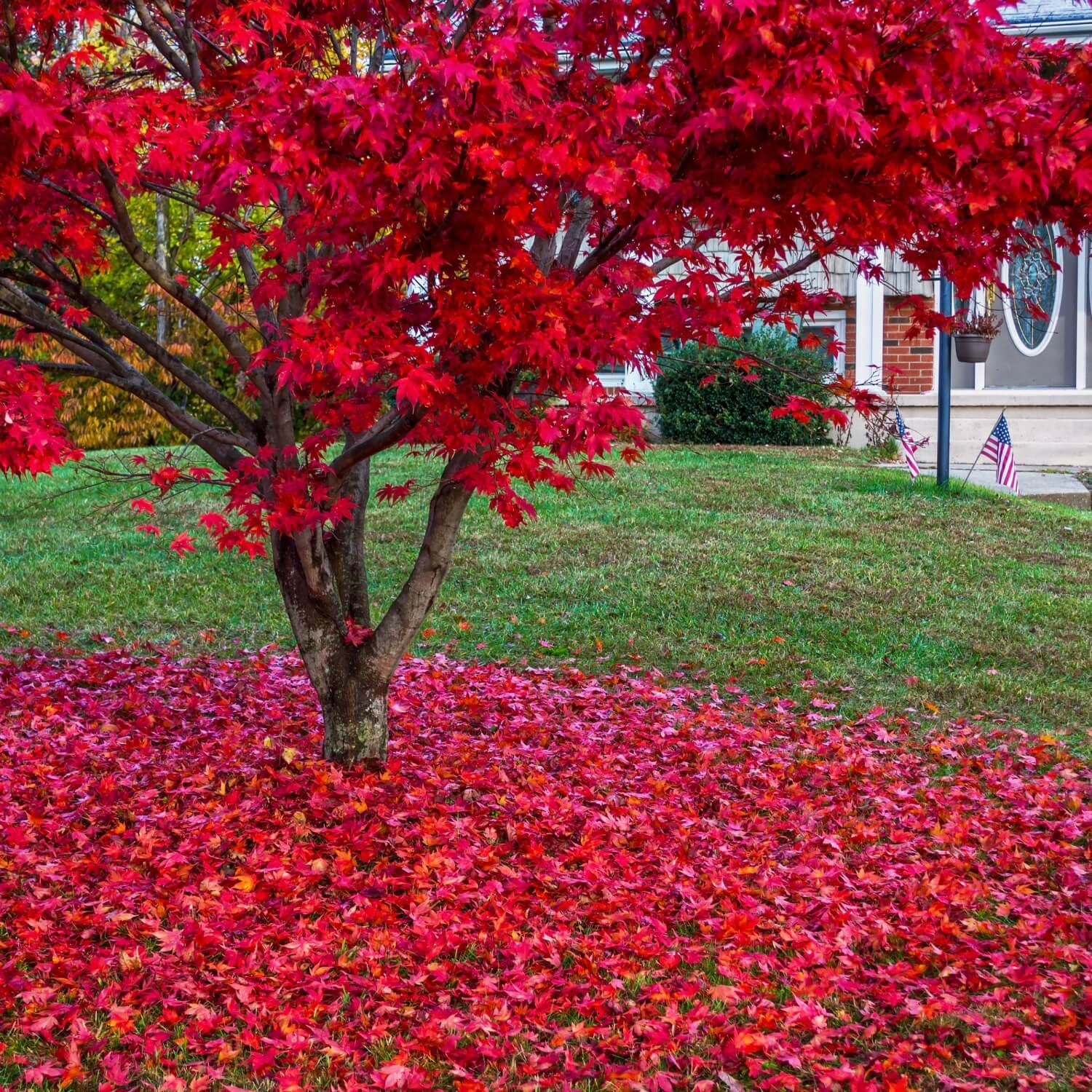 How to Grow and Trim Japanese Maples. - Mike's Backyard ... |Japanese Maple Red Beetle