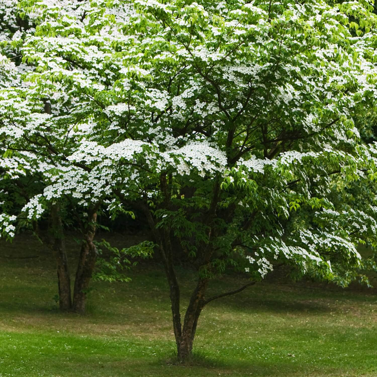 Kousa Dogwood | The Living Urn