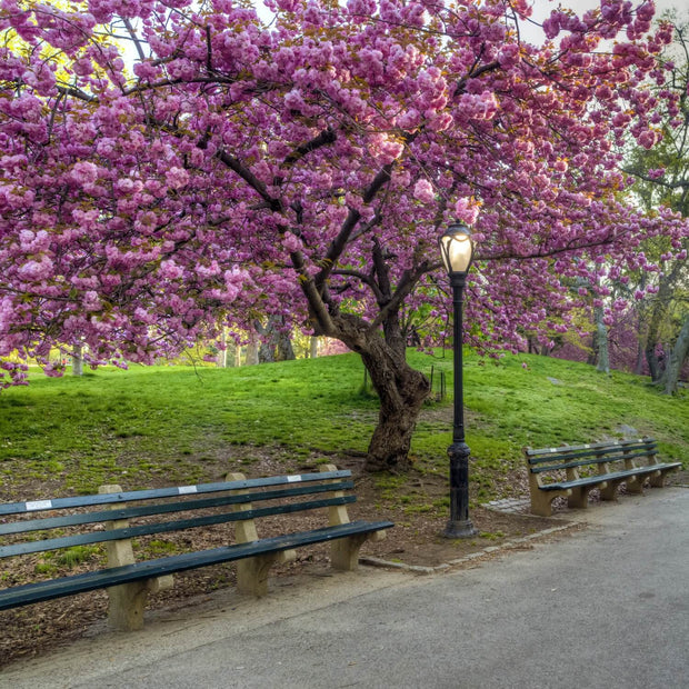 How to choose Japanese flowering cherry trees