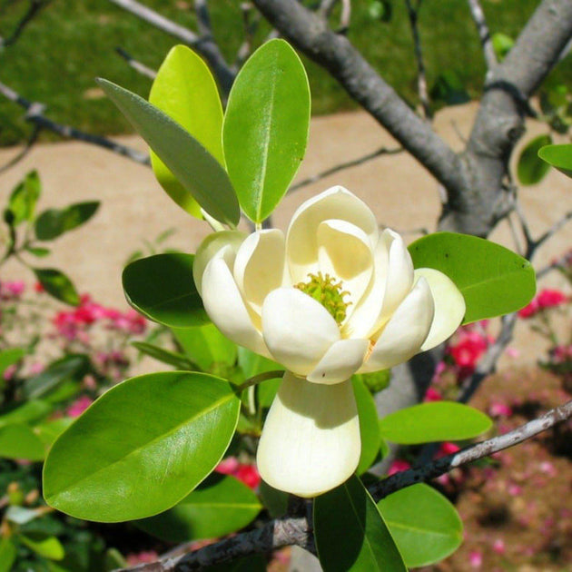 Magnolia Tree Urn Ashes Into A Magnolia Tree Planting System The