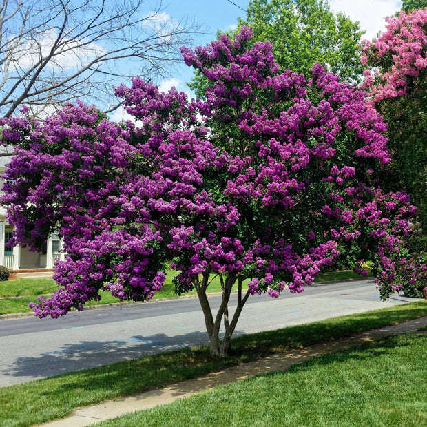 Crape Myrtle (Purple)