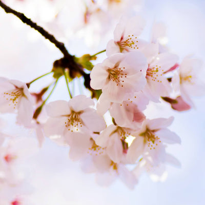 Japanese Flowering Cherry (Yoshino)