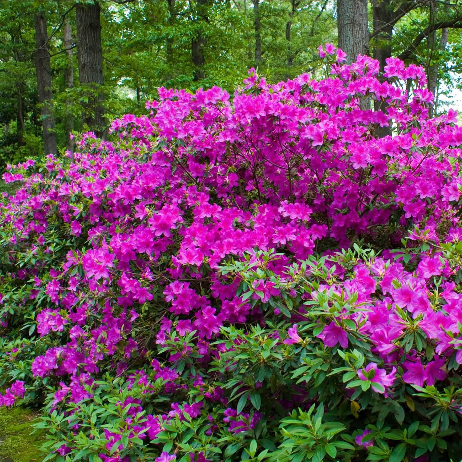 Formosa Azaleas - The Living Urn