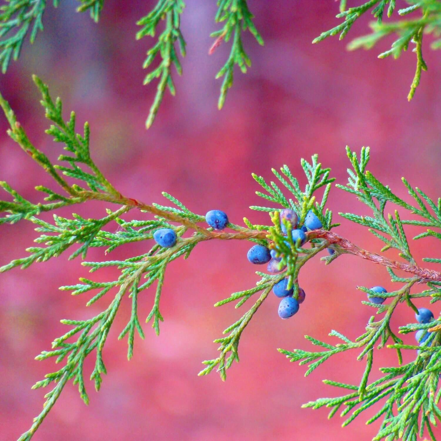 Eastern Redcedar - The Living Urn