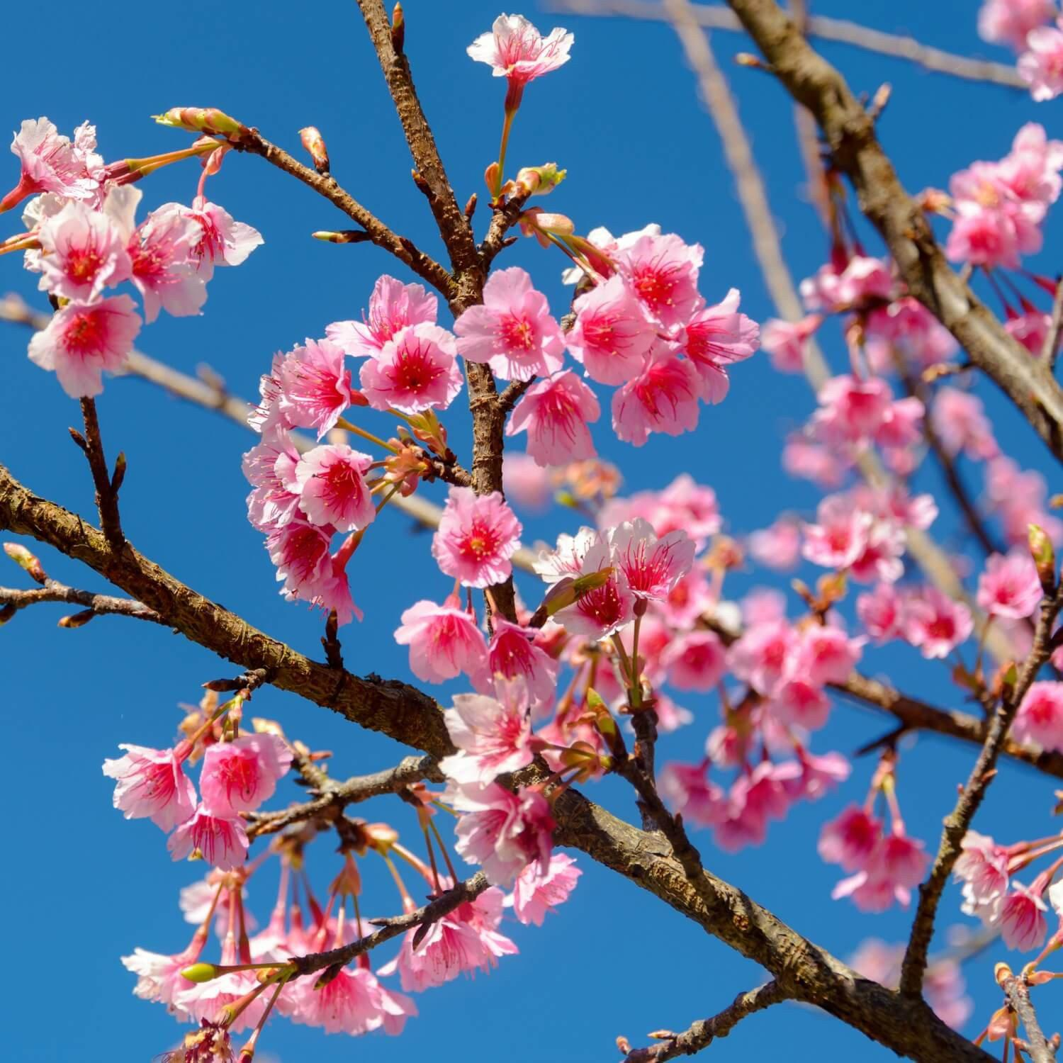 Japanese Flowering Cherry - The Living Urn
