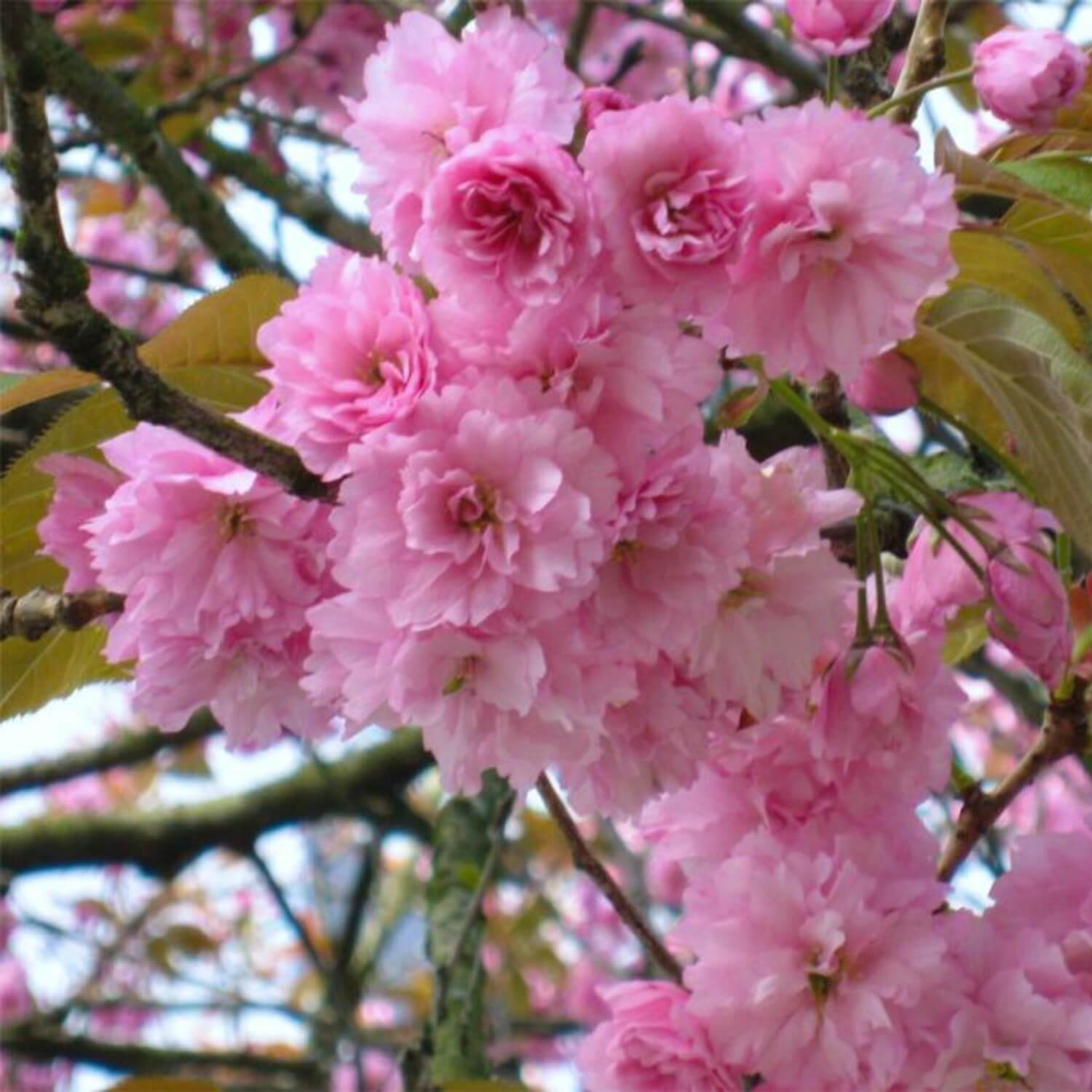 Japanese Flowering Cherry Kwanzan The Living Urn