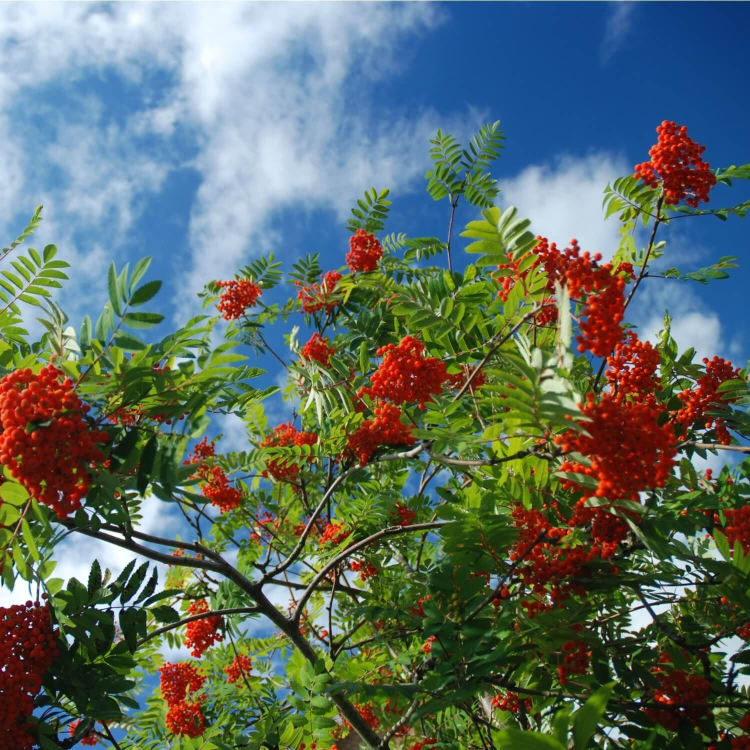 American Mountainash - The Living Urn