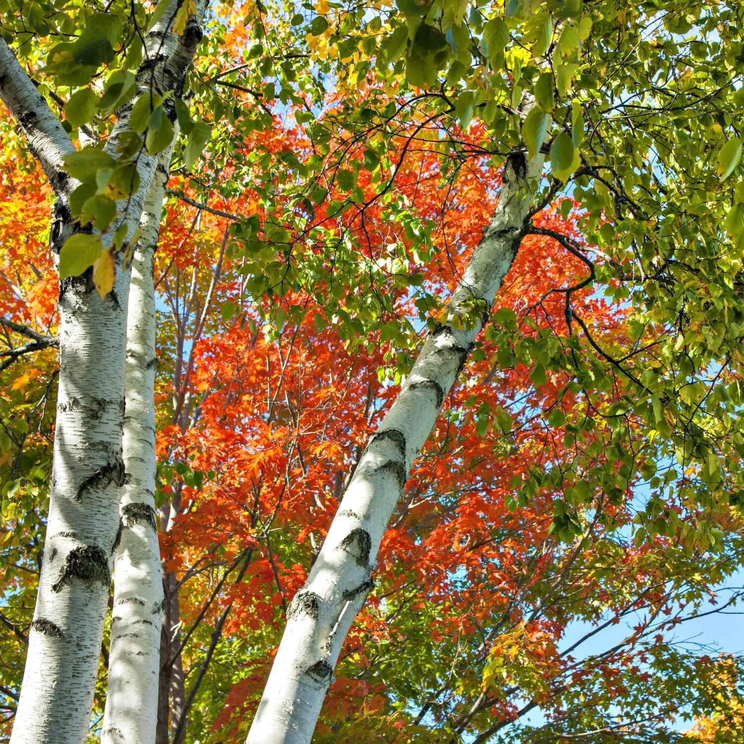 Paper Birch - The Living Urn