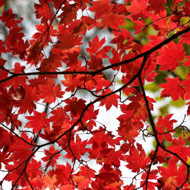 Red Maple - The Living Urn