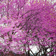 Eastern Redbud - The Living Urn