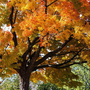 Sugar Maple - The Living Urn
