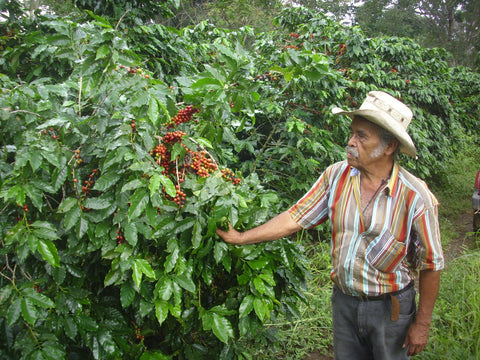 El Salvador Finca Hungria - Bird Friendly & Rainforest Alliance