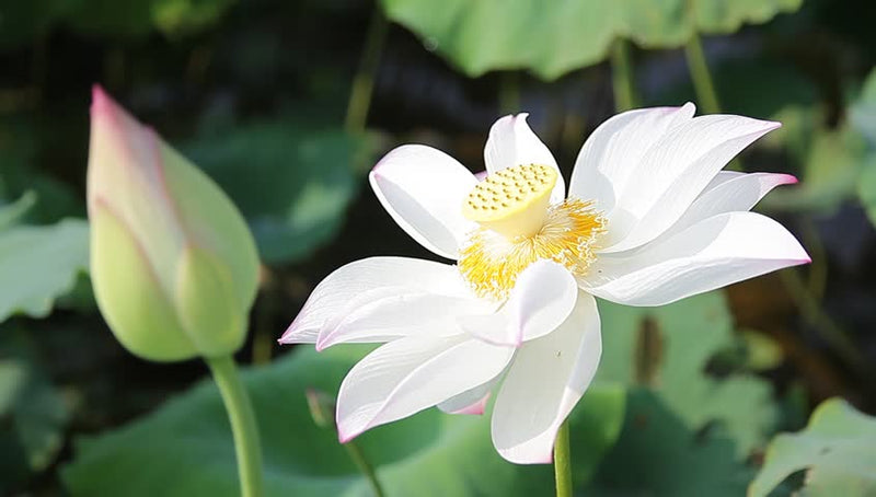 Nelumbo Nucifera (White Lotus)