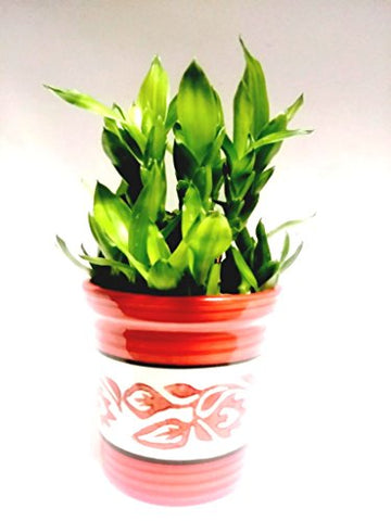 2 Layer Lucky Bamboo Plant with ceramic pot