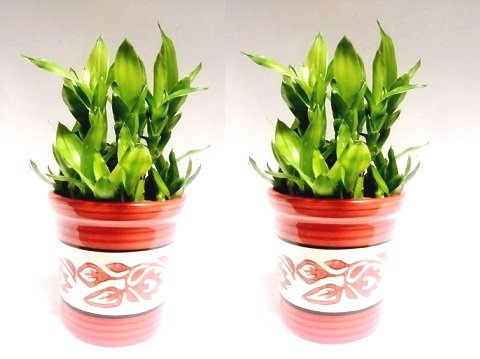 2 Layer Lucky Bamboo Plant with ceramic pot Set of 2 PCS