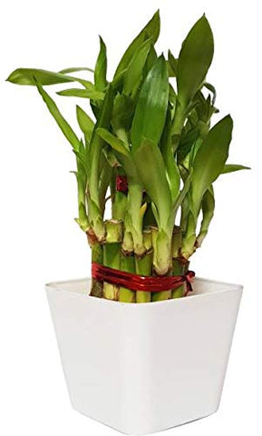 Adoptplants Lucky Bamboo 2 Layer (Good Luck Fengshui Plant) Plant (No Pack Of 1 Bamboo) - 3
