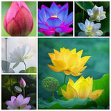 Hudgle Lotus Mix Flower Seeds (Pack Of 15 Seeds) -Mix Colors… Growing Lotus Brings Positive Vibrations According To Vaastu Shastra…