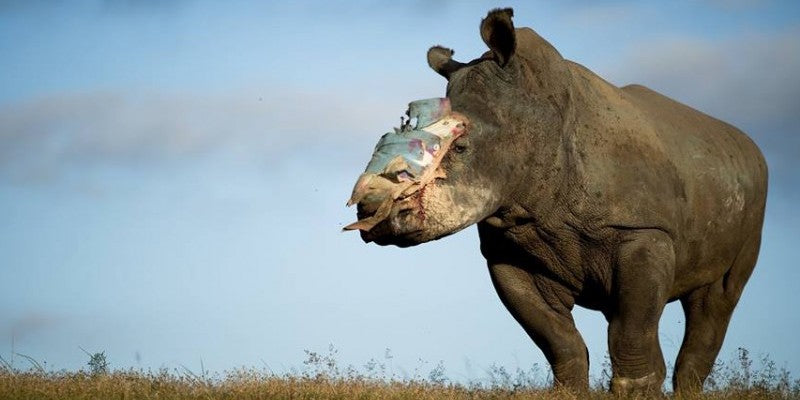 Will your grandkids live in a world without rhinos??
