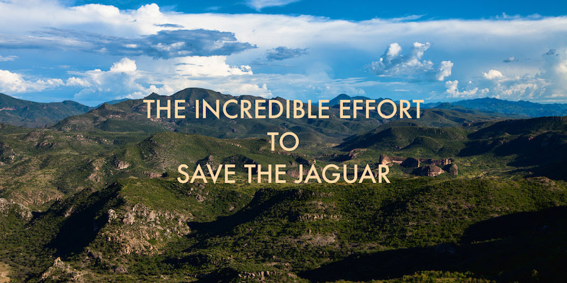 The Incredible Effort to Save the Jaguar