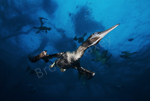 "Flying in the Depths - Metal - Large (46 13/16"" x 31 1/2"") - Photo - Brocq Maxey - 2"
