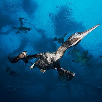 Flying in the Depths -  - Photo - Brocq Maxey - 1