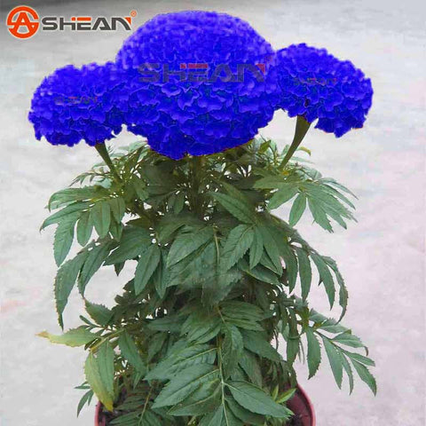 Blue Maidenhair Seeds Flower Seeds Potted Herb Garden Marigold Chrysanthemum Bonsai Seeds 50 Pieces / lot - Hespirides Gifts