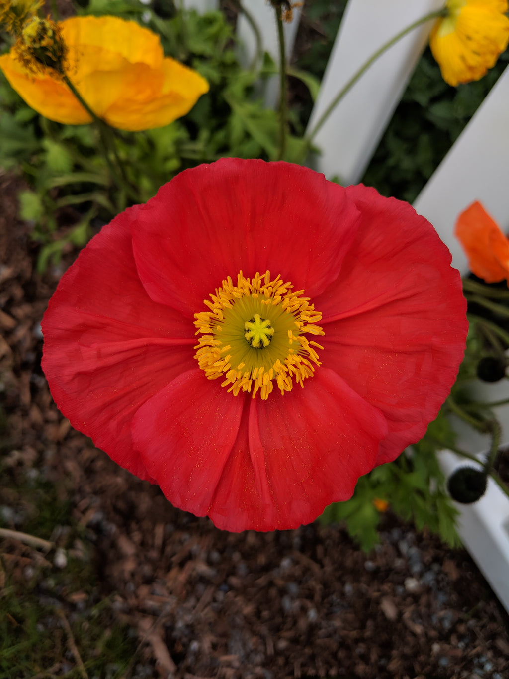 In My Garden: Poppies and Watermelons