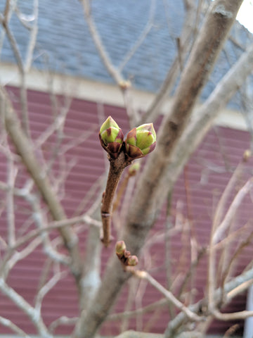 Tree buds popping out!