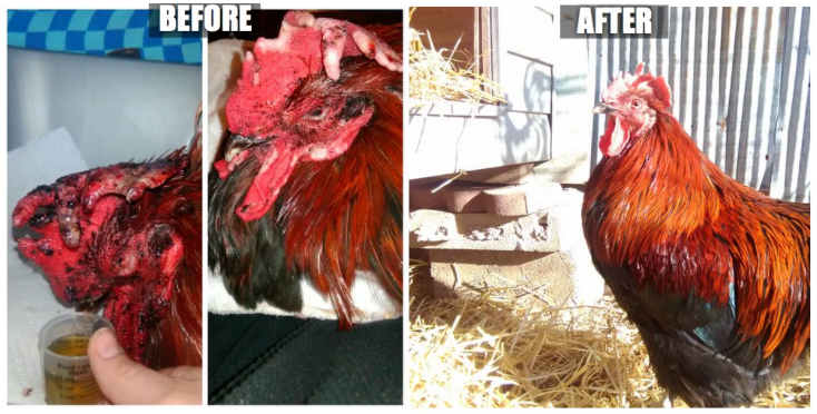 Rooster Success Story