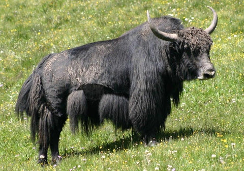 1/4 of a Yak