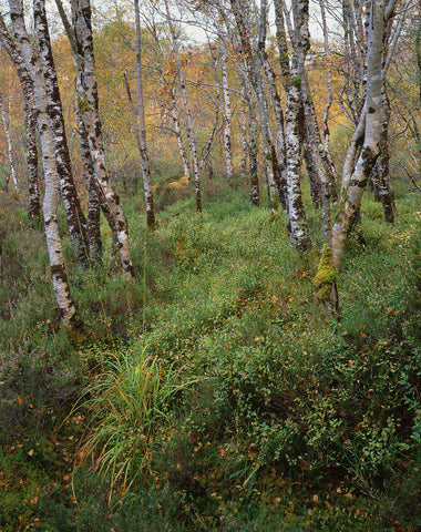 Silver Birch Trees in autumn, Torridon, Scotland