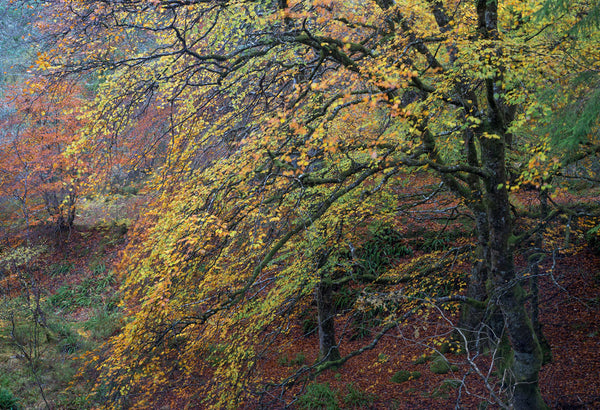 trees in beautiful autumn colours at Rosehall Lairg