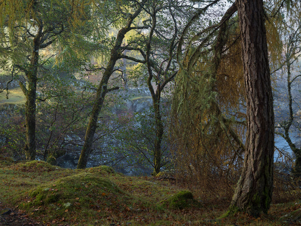 Larch, Birch and Scots Pine trees in Autumn along the River Cassley in Sutherland
