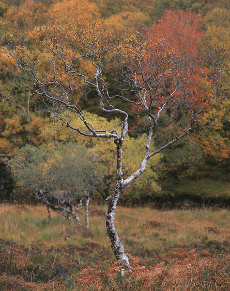 Birch Tree in autumn colours or fall colors