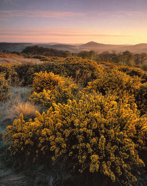 Black Hill of Earlston at dawn from the gorse-covered slopes of The Eildon Hills