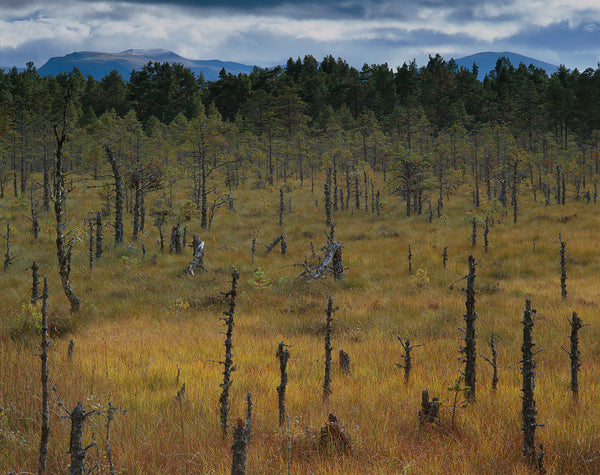 scots pines and the cairngorm mountains