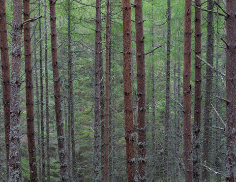 scots pine trees at carbisdale castle woods in sutherland scotland