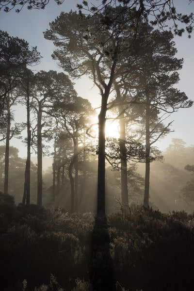 Scots pine trees in Glen Affric backlit by the rising sun