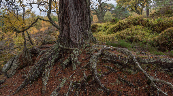 Ancient Scots Pine Tree in Glen Affric