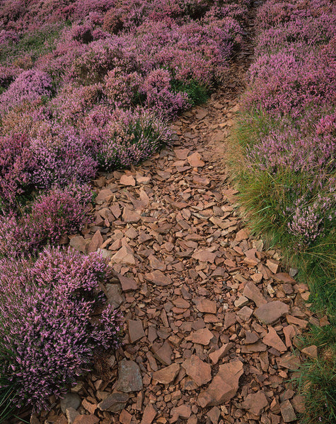 Path with purple heather on The Eildon Hills, Scottish Borders