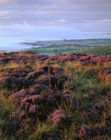 Heather and mist from The Eildon Hills, Scottish Borders