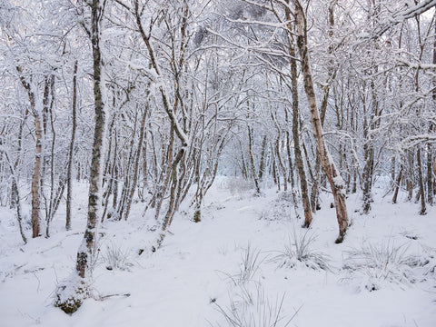 Snow-covered Silver Birch Trees
